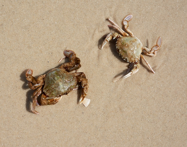 Live crab on the sandy shore of the black sea, top view, ukraine
