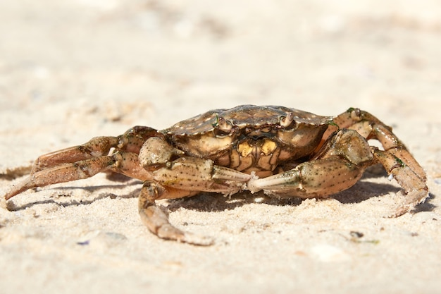 Live crab on the sandy shore of the black sea,  ukraine, kherson region, close up