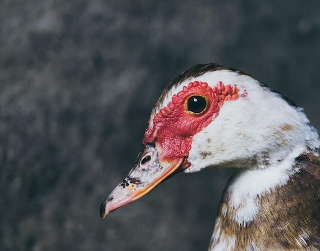 Live domestic duck