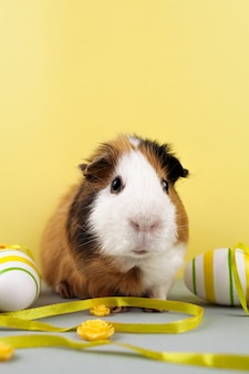 Live guinea pig with decorated easter eggs.