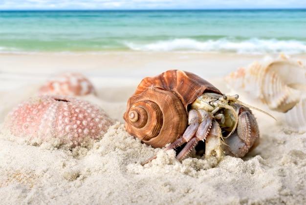 해변 모래 위를 걷는 살아있는 소라게.