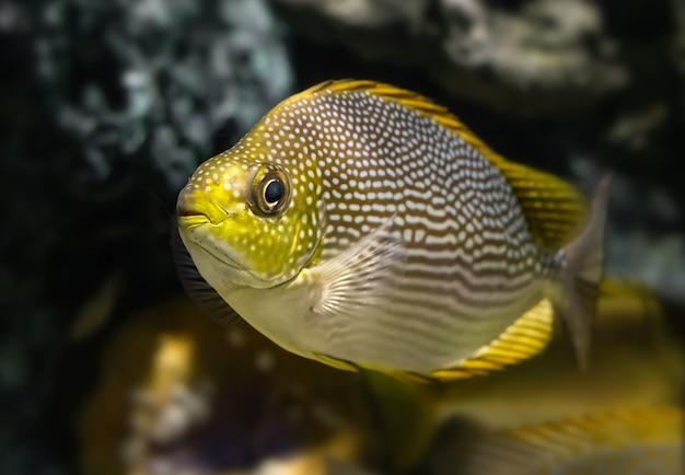 水族館の水槽で泳ぐ生きているジャワアイゴ