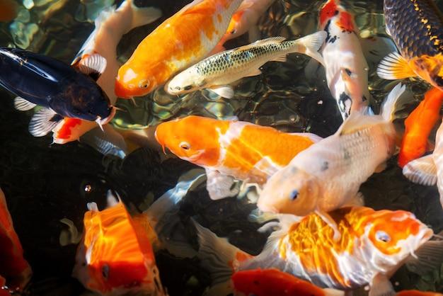 정원에 있는 아름다운 잉어 연못에서 활기차고 다채로운 일본 잉어 물고기. 맑은 물에서 즐겁게 헤엄치는 활기찬 중국 팬시 잉어 물고기.