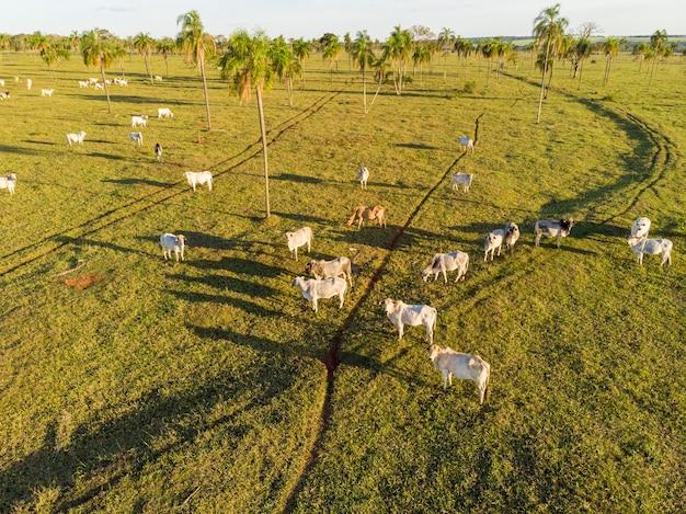 Животноводство, ранчо крупного рогатого скота nelore brazil.