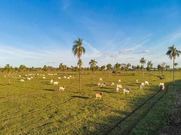 家畜、牛牧場ネロレブラジル。