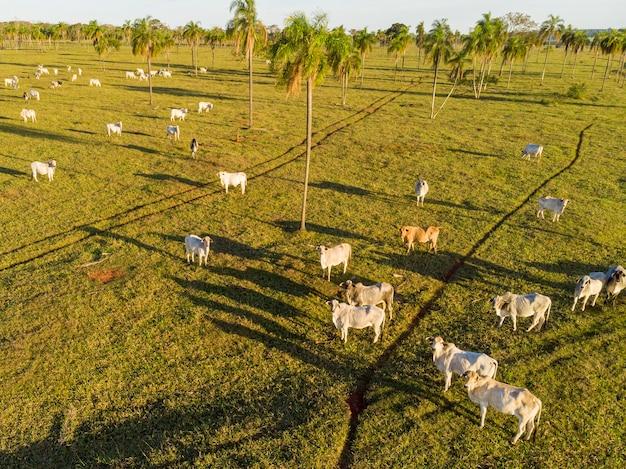 Животноводство, животноводческое хозяйство nelore brazil.