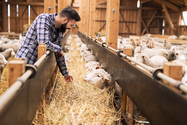 Животновод и овцы