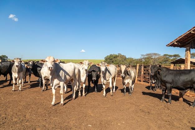 Скот в заточении, волы, коровы, солнечный день.