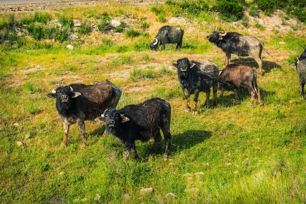 Livestock in the mountains
