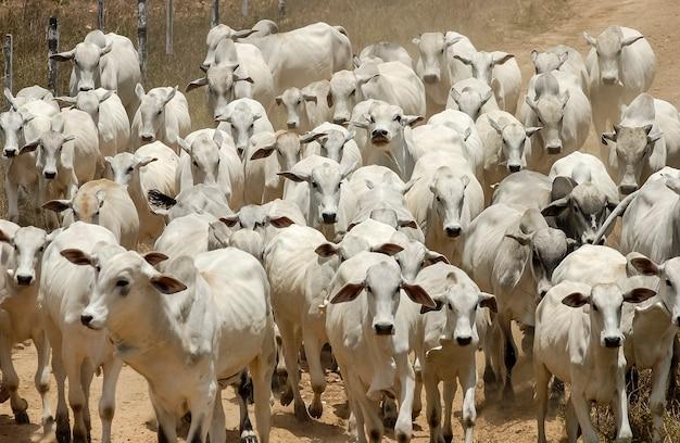 Домашний скот nelore крупного рогатого скота в жакарау параиба бразилия