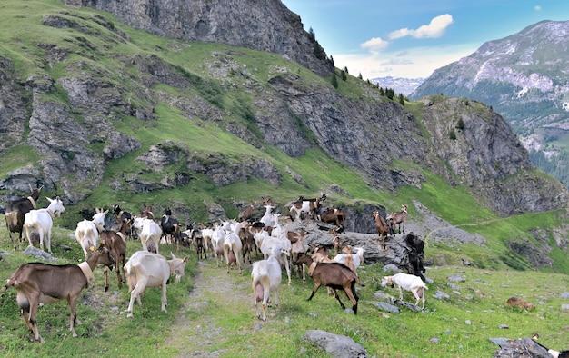 山の牧草地のアルパインヤギの家畜