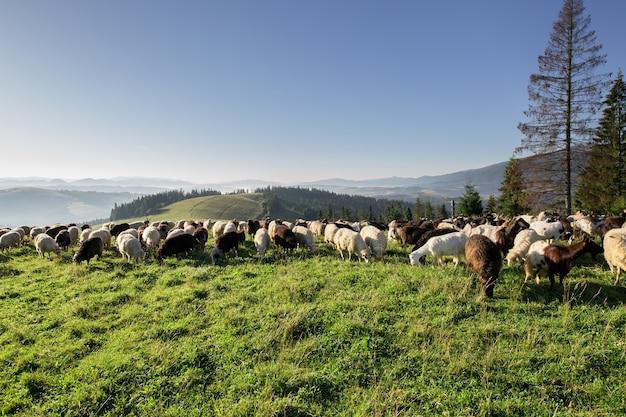 높은 언덕에 목초지에 가축.