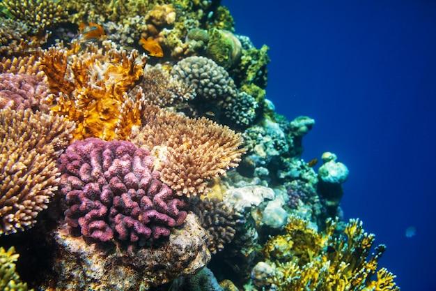 Живой коралловый риф в красном море, египет.