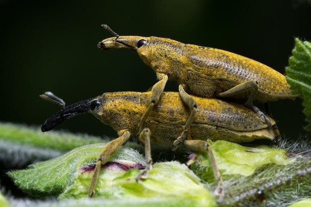 Lixus algirus жук мальва сильвестрис