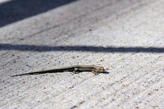 コンクリートスラブ爬虫類で日光浴をしているトカゲ