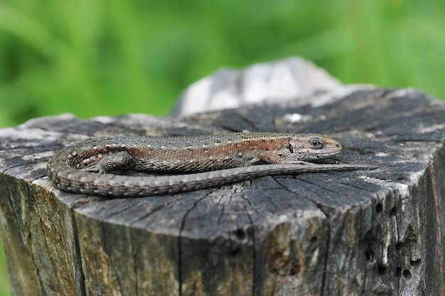 Lizard basking in the sun, lying on the stump