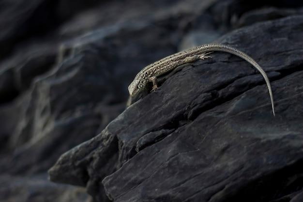 어두운 바위에 기어가는 도마뱀