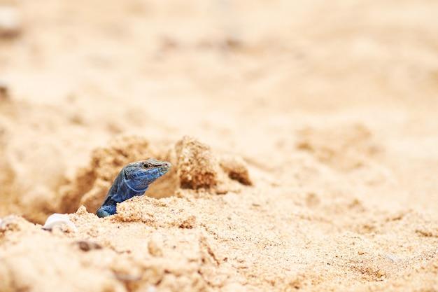 カブレラ島のトカゲ。 podarcis lilfordi。バレアレス諸島、スペイン。