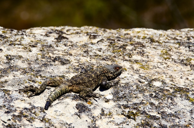 Lizard on a gray stone in the mountains of georgia on a blurred background.