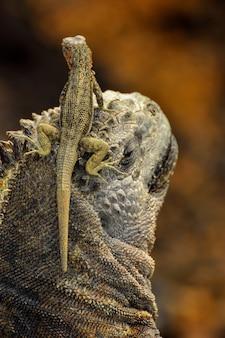 A lizard on the head of an marine iguana