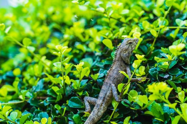 Lizard iguana gecko skink lacertilia chameleon on the green leaves
