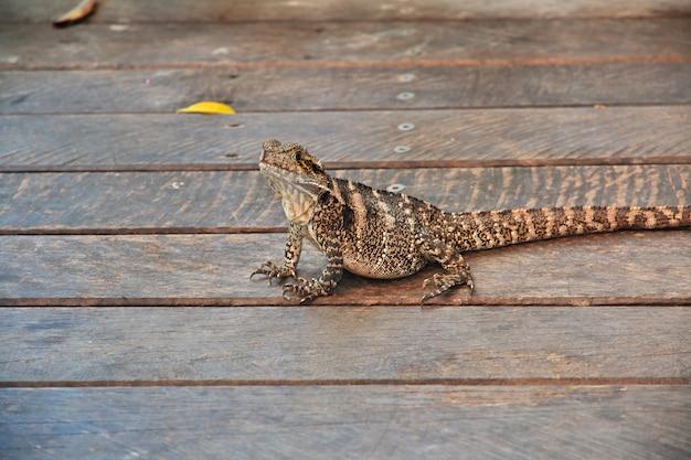 Ящерица в куранде, развлекательный комплекс в горах, кернс, австралия