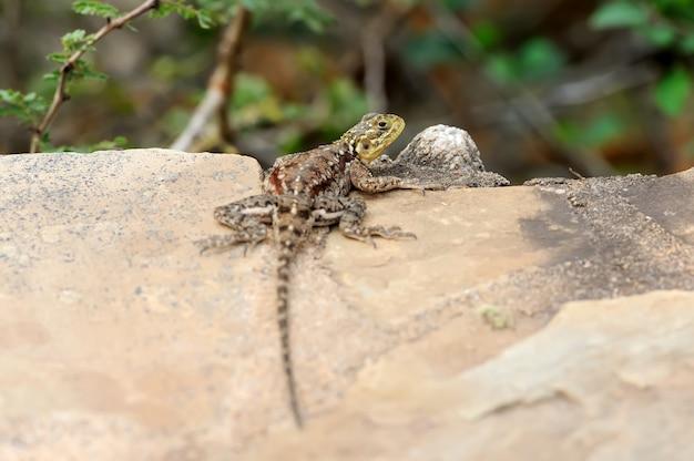 ケニア、アフリカの国立公園のトカゲ