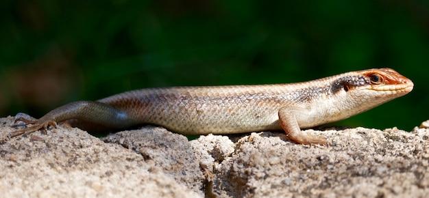 Ящерица в национальном парке южная луангва - замбия