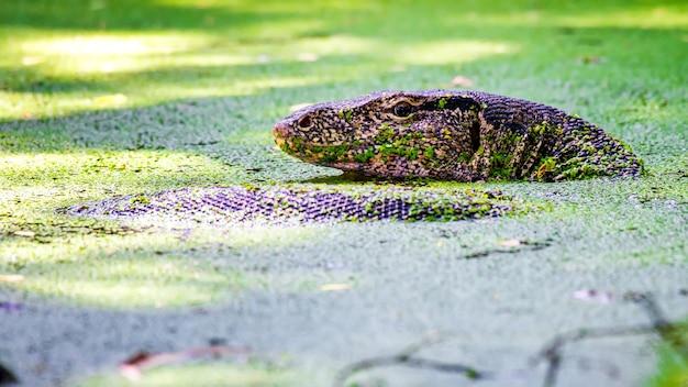 緑の水生植物と水域のトカゲ