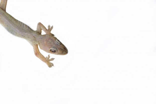 Lizard on an isolated white background.