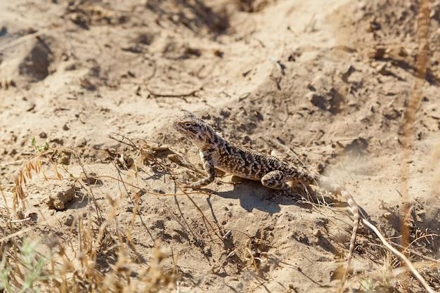 카자흐스탄 비어디드 드래곤의 대초원에 사는 도마뱀