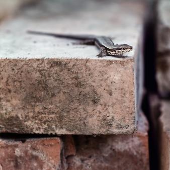 도마뱀, podarcis 벽화는 자연 환경에서 오래된 소박한 벽돌에 누워 있습니다.