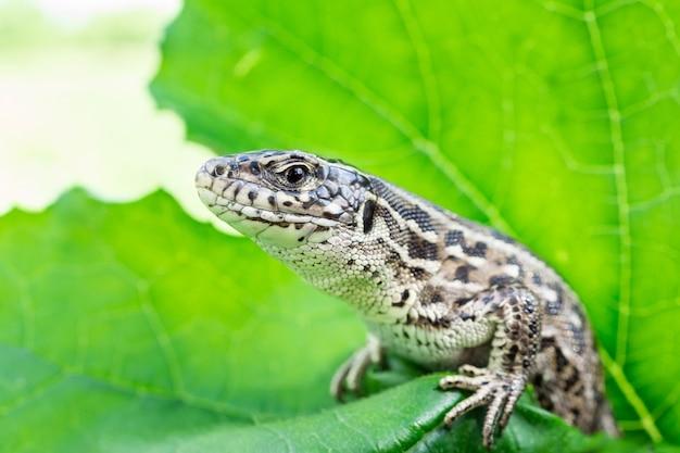 Lizard sits on a green leaf