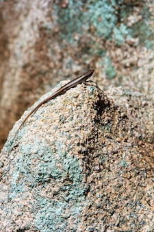Lizard on the smooth stones of seychelles