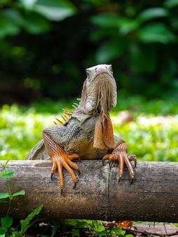Una lucertola in piedi sul legno in giardino