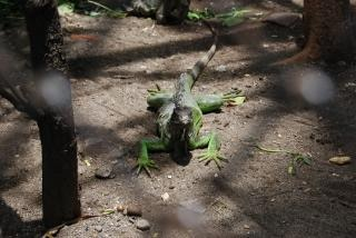 Lizard at surabaya zoo, animal