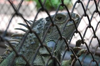 Lizard at surabaya zoo, dragon