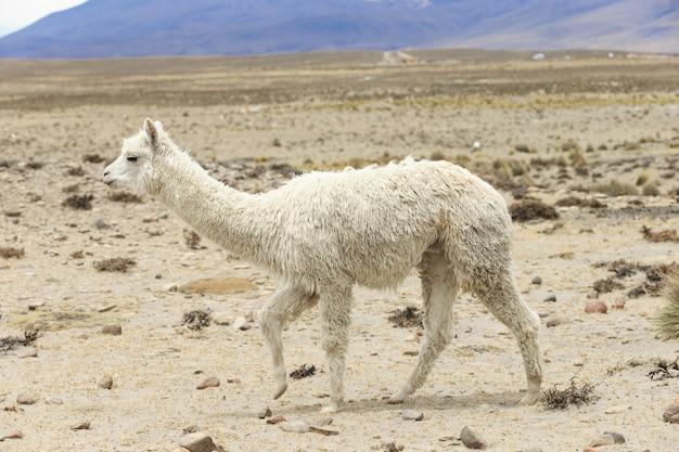Llama in andes