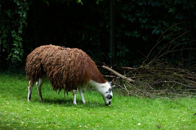 Лама ест зеленую траву в зоопарке на открытом воздухе