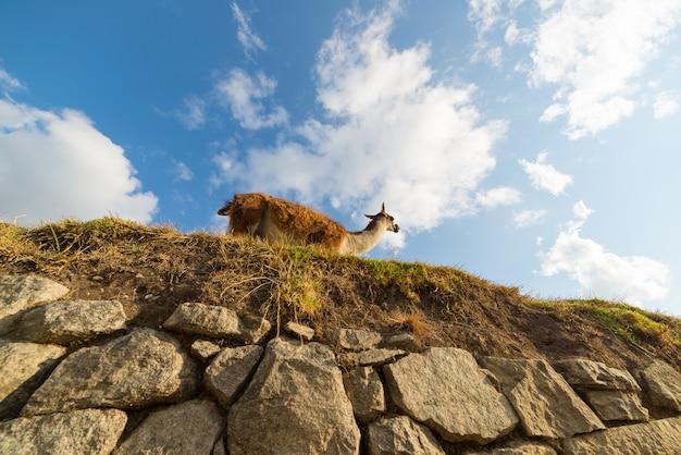 Llama from below on machu picchu terraces, peru