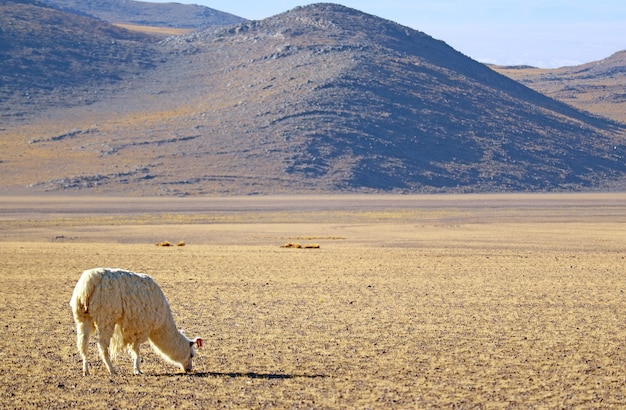 Llama grazing on the grass field at andes foothills, the bolivian altiplano, bolivia