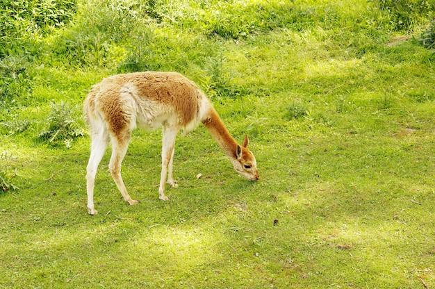 緑の牧草地で放牧するラマ
