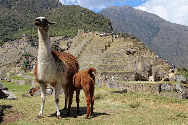 A llama and her daughter in machu picchu. peru