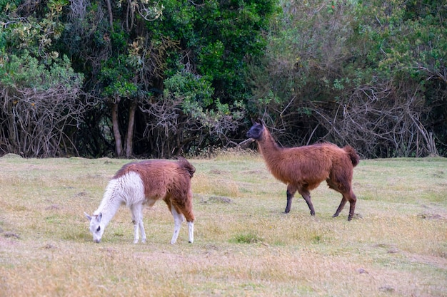 Llama in the highlands of south america.
