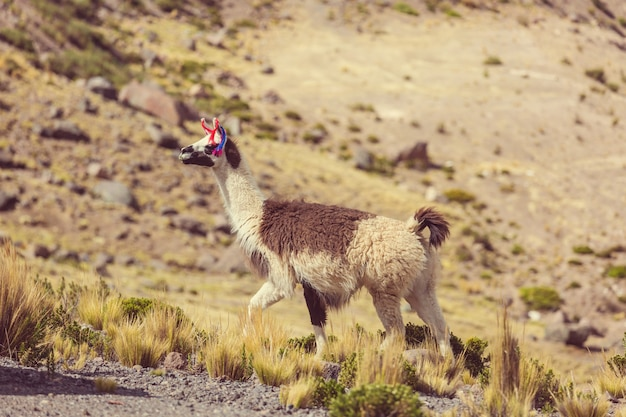 Лама в отдаленном районе аргентины