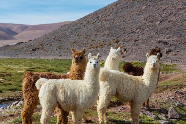 アルゼンチンの遠隔地にあるラマ