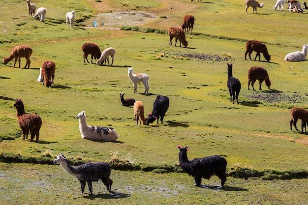 ボリビアの遠隔地にあるラマ