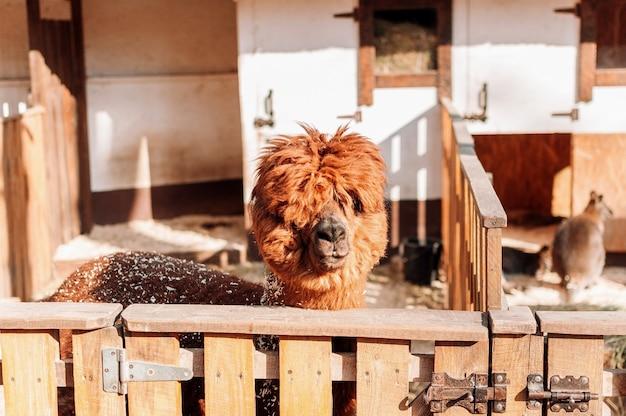 家族経営の農場のペンにいるラマは、赤いふわふわの毛むくじゃらのラマであるカメラを見ています。毛皮で覆われたアルパカの肖像画。ラマはペルーの農場の牛です。