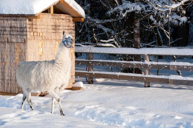 雪の中のラマ。鳥小屋と丸太で作られた柵。