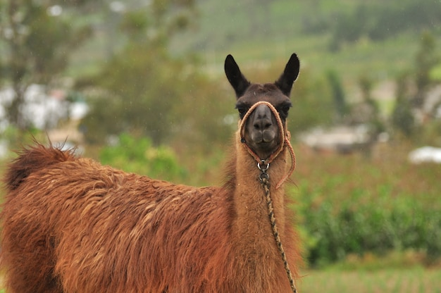 Llama in nature